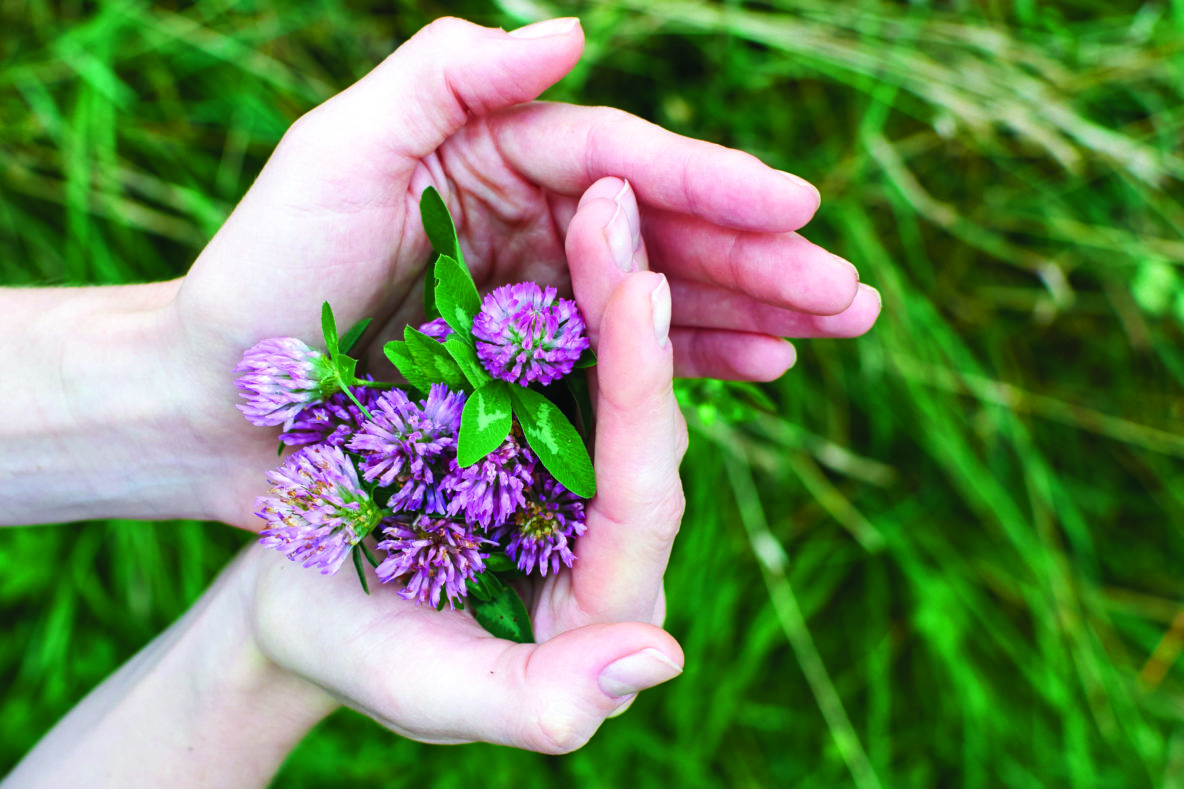 handful of red clover flowers