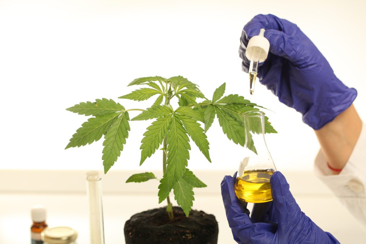 plant in laboratory cbd oil being extracted